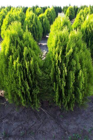 Plante Verzi 15