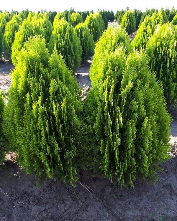 Plante Verzi 40
